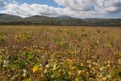 Campo de la soja Foto de archivo