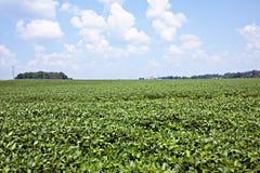 Campo de la soja con el cielo azul fotos de archivo