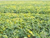 Campo de la soja del almácigo en tierras de labrantío Imagen de archivo