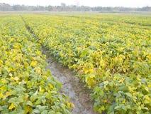 Campo de la soja del almácigo en tierras de labrantío Fotografía de archivo