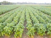 Campo de la soja del almácigo en tierras de labrantío Imagen de archivo libre de regalías