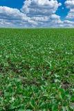 Campo de la soja en verano Imagen de archivo