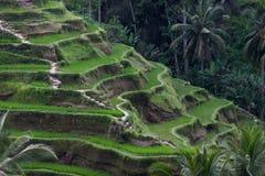 Campo de la terraza del arroz Imágenes de archivo libres de regalías