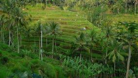Campo de la terraza del arroz de arroz Foto de archivo libre de regalías