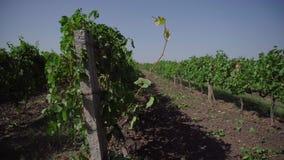 Campo de la uva, filas del viñedo metrajes