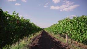 Campo de la uva, filas de viñedos almacen de metraje de vídeo