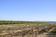 Campo de la uva Parte del campo arado cerca del viñedo Foto de archivo