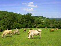 Campo de la vaca Imágenes de archivo libres de regalías