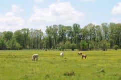 Campo de la vaca del resorte Foto de archivo libre de regalías