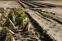 Campo de la verdura de Daikon Foto de archivo libre de regalías