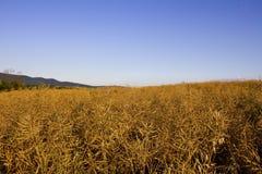 Campo de la violación de semilla oleaginosa Fotos de archivo libres de regalías