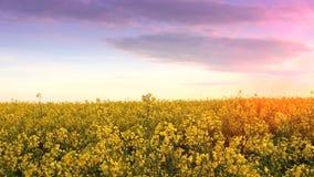 Campo de la violación en la puesta del sol Viole la ojeada del primer de las flores del sol de oro almacen de metraje de vídeo