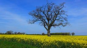 Campo de la violación en primavera en un día soleado Fotografía de archivo libre de regalías