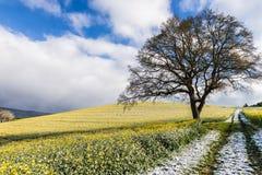 Campo de la violación floreciente cubierto con nieve en la primavera Imagenes de archivo