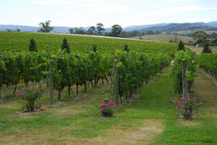 Campo de la yarda del vino foto de archivo libre de regalías