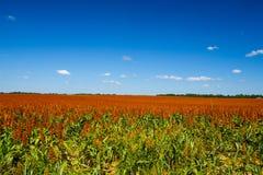 Campo de la zahína dulce - combustible biológico - fod Imagen de archivo libre de regalías