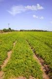 Campo de la zanahoria Fotografía de archivo libre de regalías