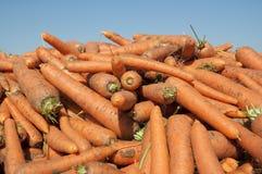 Campo de la zanahoria Imagen de archivo