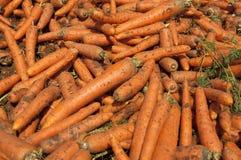 Campo de la zanahoria Fotografía de archivo