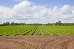 Campo de la zanahoria de Yorkshire Fotos de archivo libres de regalías