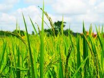 Campo de Lao Rice Fotografía de archivo