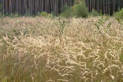 Campo de las altas hierbas de oro mullidas, curvas en el viento bushgras fotografía de archivo libre de regalías