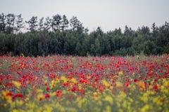 Campo de las amapolas, bosque en el fondo Fotos de archivo libres de regalías