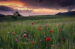Campo de las amapolas en puesta del sol Fotos de archivo libres de regalías