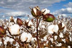 Campo de las cápsulas del algodón Imagen de archivo libre de regalías