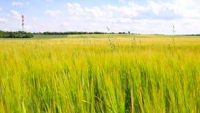 Campo de las cebadas de maduración jovenes en el centro de junio Cebada joven del verde amarillo que sopla en el viento almacen de video