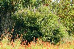 Campo de las floraciones azules y rojas de la flor Imagen de archivo libre de regalías