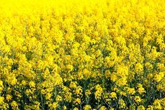 Campo de las flores amarillas frescas de una violación Imagen de archivo libre de regalías