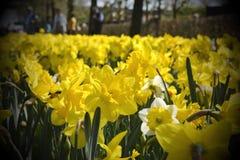 Campo de las flores amarillas de los narcis Fotografía de archivo libre de regalías