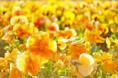 Campo de las flores anaranjadas de la primavera - pensamientos Fotografía de archivo