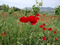 Campo de las flores de la amapola imagen de archivo libre de regalías