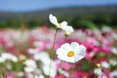 Campo de las flores de la margarita Fotografía de archivo libre de regalías