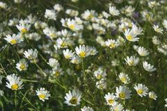 Campo de las flores de la margarita Foco selectivo Fotos de archivo libres de regalías