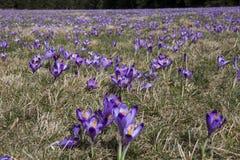 Campo de las flores del azafrán Imagen de archivo
