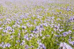Campo de las flores del lila y del follaje verde Imagen de archivo libre de regalías