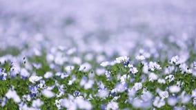 Campo de las flores del lino almacen de video