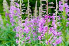 Campo de las flores florecientes del sally Fireweed alpestre púrpura fotografía de archivo