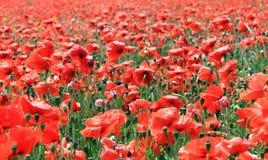 Campo de las flores rojas de la amapola Fotografía de archivo