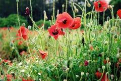 Campo de las flores rojas de la amapola Foto de archivo