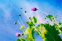 Campo de las flores rojas de la amapola de maíz Imagenes de archivo