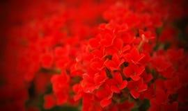 Campo de las flores rojas para su tarjeta del día de San Valentín foto de archivo libre de regalías
