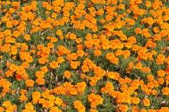 Campo de las flores rojo-anaranjadas de la maravilla Foto de archivo libre de regalías