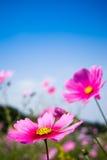 Campo de las flores rosadas del cosmos y del cielo azul Fotografía de archivo