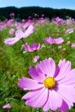Campo de las flores rosadas del cosmos y del cielo azul Imagenes de archivo