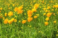 campo de las Globo-flores Fotografía de archivo