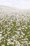 Campo de las margaritas blancas Fotografía de archivo libre de regalías